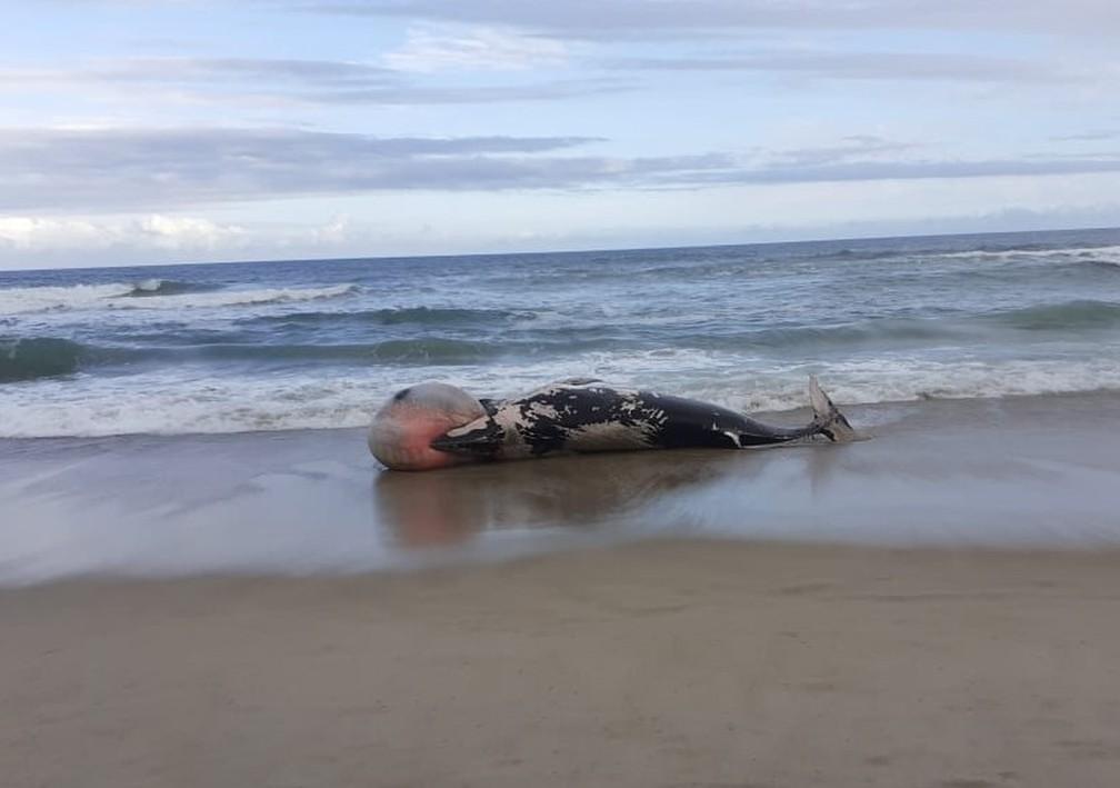 Baleias e golfinhos são encontrados mortos em praia de SC